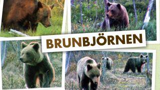 Brunbjörnen