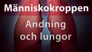Människokroppen: Andning och lungor