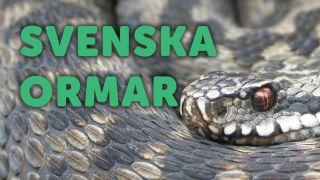 Svenska ormar