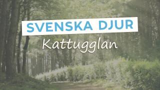 Svenska djur: Kattugglan