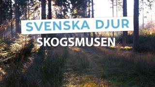 Svenska djur: Skogsmusen