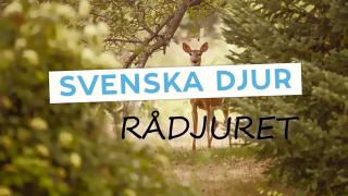 Svenska djur: Rådjuret