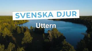 Svenska djur: Uttern