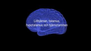 Lillhjärnan, talamus, hypotalamus och hjärnstammen