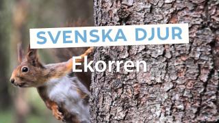 Svenska djur: Ekorren