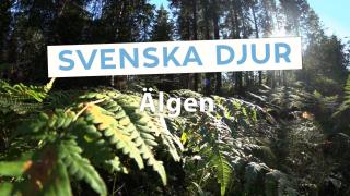 Svenska djur – Älgen