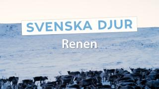 Svenska djur – Renen