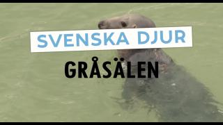 Svenska djur: Gråsälen
