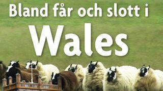 Bland får och slott i Wales