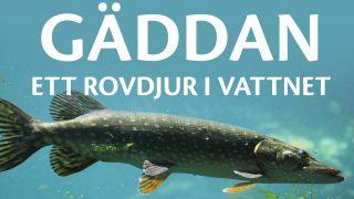 Gäddan – ett rovdjur i vattnet