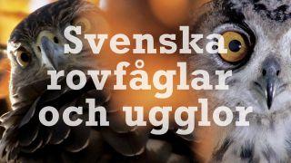Svenska rovfåglar och ugglor